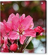 Cherry Blossoms And Greeting Card Blank Acrylic Print