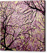 Cherry Blossoms Acrylic Print by Bobby Zeik
