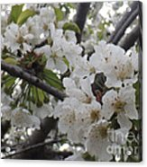 Cherry Blossoms Branching Out Acrylic Print