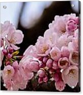 Cherry Blossoms Finally Acrylic Print