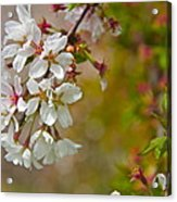 Cherry Blossoms Galore Acrylic Print
