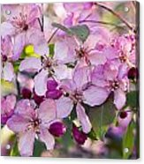Cherry Blossoms Acrylic Print by Gerald Murray Photography