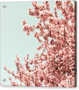 Cherry Blossoms In Spring Acrylic Print