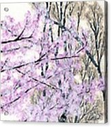 Cherry Blossoms In Spring Snow Acrylic Print