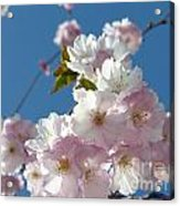 Cherry Blossoms In Spring Xi Acrylic Print