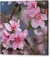 Cherry Blossoms Acrylic Print by Old Pueblo Photography