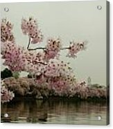 Cherry Blossoms On A Foggy Morning Acrylic Print