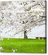 Cherry Blossoms On The Shore Of Fort Mchenry Acrylic Print by Susan Schmitz