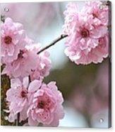 Cherry Blossoms Acrylic Print