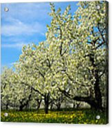 Cherry Blossoms Acrylic Print by Thomas Pettengill