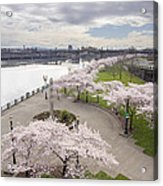 Cherry Blossoms Trees Along Willamette River Waterfront Acrylic Print