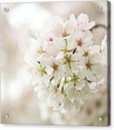 Cherry Blossoms - Washington Dc - 0113101 Acrylic Print