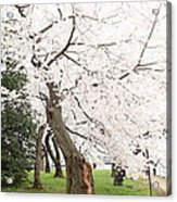 Cherry Blossoms - Washington Dc - 0113135 Acrylic Print