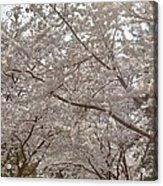 Cherry Blossoms - Washington Dc - 011363 Acrylic Print