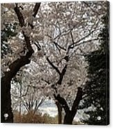 Cherry Blossoms - Washington Dc - 011373 Acrylic Print by DC Photographer