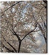 Cherry Blossoms - Washington Dc - 011375 Acrylic Print by DC Photographer