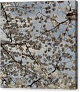 Cherry Blossoms With Jefferson Memorial - Washington Dc - 011330 Acrylic Print by DC Photographer