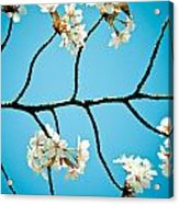 Cherry Blossoms With Sky Acrylic Print