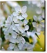 Cherry Flowers Acrylic Print