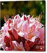 Cherry Mist Azalea Acrylic Print