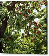 Cherry Orchard  Acrylic Print