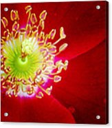 Cherry Pie Rose 01a Acrylic Print