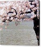 Cherry Tree And The Potomac Acrylic Print