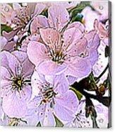 Cherry Tree Blossoms Acrylic Print