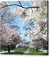 Cherry Trees Acrylic Print
