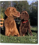 Chesapeake Bay Retrievers Acrylic Print