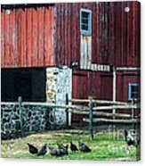 Chester County Chickens Acrylic Print