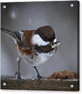 Chestnut Back Chickadee In Winter Acrylic Print