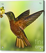 Chestnut-breasted Coronet Acrylic Print