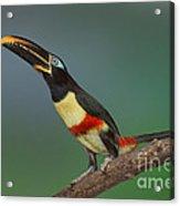 Chestnut-eared Aracari Alert Acrylic Print