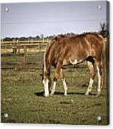 Chestnut In The Pasture Acrylic Print