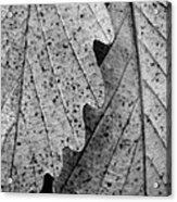 Chestnut Oak Leaves Acrylic Print