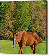 Chestnut Red Horse Acrylic Print