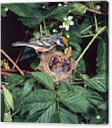 Chestnut-sided Warbler At Nest Acrylic Print