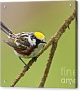 Chestnut-sided Warbler Pictures 49 Acrylic Print