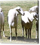 Cheviot Sheep 2 Acrylic Print