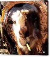Chewing Llama Acrylic Print