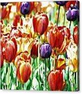 Chicago Tulips Acrylic Print
