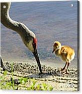 Chick At The Lake Acrylic Print