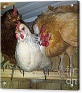 Chick Trio  Acrylic Print