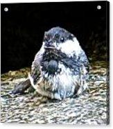 Chickadee 109 Acrylic Print