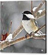 Chickadee 117 Acrylic Print