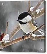 Chickadee 118 Acrylic Print