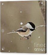 Chickadee In The Snow Acrylic Print