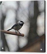 Chickadee - Keeping Watch Acrylic Print