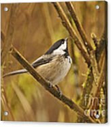 Chickadee On Alert Acrylic Print
